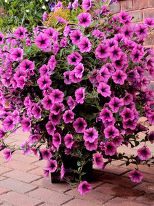 Pink Petunias: A crowd of cascading petunias