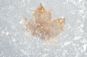 Icy Leaf: A Maple Leaf Frozen Under the Ice.