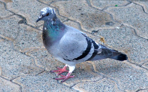 pigeon pie potential1: pigeon on the lookout for food scraps