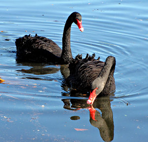 Way Down Upon the Swanee River: pair of black swans swimming in river