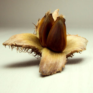 Tree Seeds Identification http://www.rgbstock.com/photo/n6hMg5A/Seed+shapes