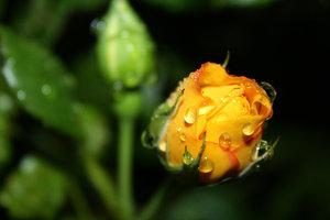 Wet Rosebuds