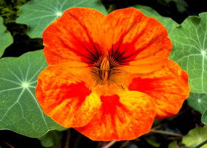 Orange tints and textures: Vibrant orange nasturtium