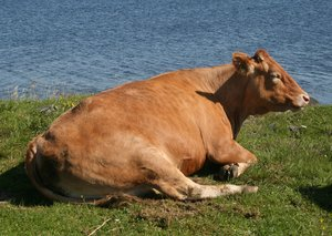 Cow: Relaxed cow