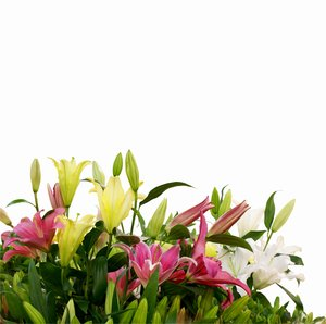 Lillies: Just lillies, few varietas