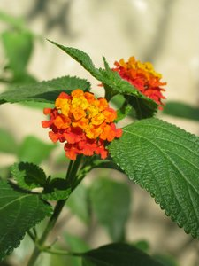lantana flower
