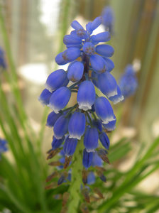 Grape Hyacinths: no description