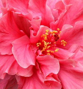hibiscus: the colourful and varied petal shapes of the hibiscus