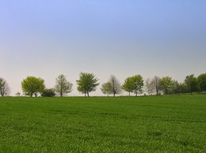 tree row on a spring meadow 2