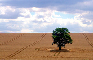 stand alone: solitary tree in corn field