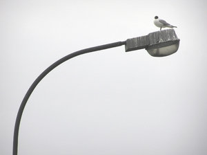 Little Gull on a lamp: A Little Gull on a very dirty lamp.