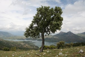 One tree: An isolated oak tree on a hillside in Andalucia, Spain.