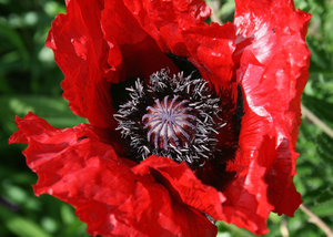 Big poppy: A big blowsy poppy (Papaver) in a garden in England.