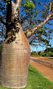 bottle tree verge: native boab tree growing on road verge