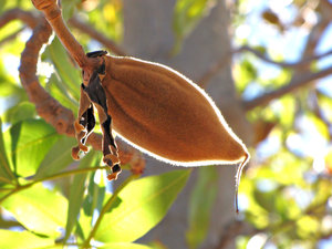 Boab bloom & nuts: flowers and furry nut fruit of Australian Boab tree