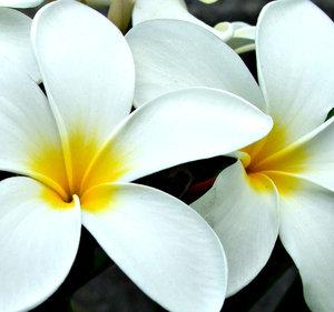 frangipani white1