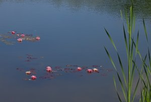 water lilys on a pond 2