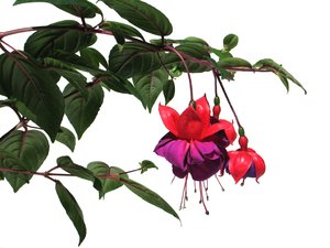 red fuchsias