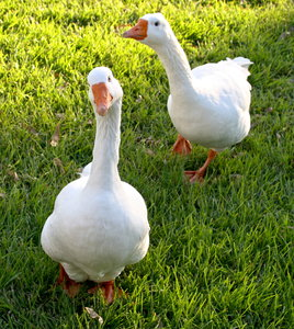Two Male Pilgrim Geese