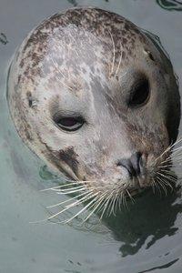 Seal Animal Face