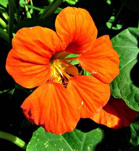nasturtium flower - orange