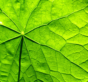 sunlit nasturtium: the back of nasturtium leaves with the sun shining through the front side