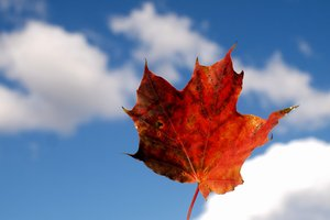 Autumn Leaf against blue sky