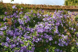Clematis flowers: Clematis flowers growing up an old garden wall in Kent, England.