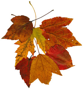 Fall Leaves: A group of isolated fall leaves.If you like my artwork,please go to my FacebookBusiness Page and like it:Billy Frank Alexander Design~ God Bless You! :-)~ Billy