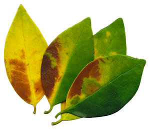 Green & Yellow: A group of four leaves.If you like my artwork,please go to my FacebookBusiness Page and like it:Billy Frank Alexander Design~ God Bless You! :-)~ Billy
