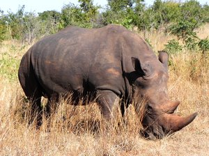 rhino in wilderness