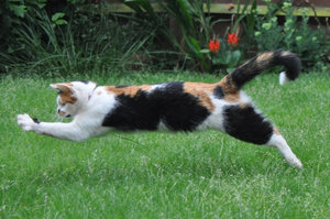 Pouncing Cat: Domestic cat pouncing on prey