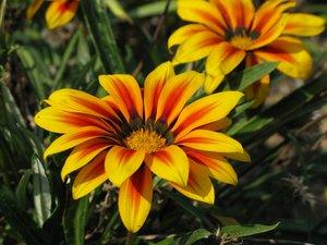 Gazania daisy