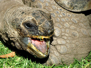 messy eater1: Aldabra giant tortoise eating grass