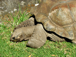 sticking your neck out3: aldabra giant tortoise sticking its neck out as it grazes on grass