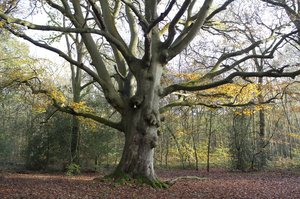 Ancient beech tree
