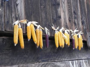 hanging corn: none