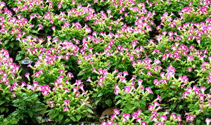 soft pink & white in the green: green garden bed with pink and with flowers