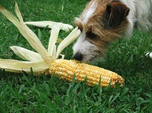 Dog and Corn