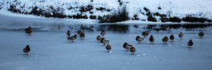 frozen river with ducks 3