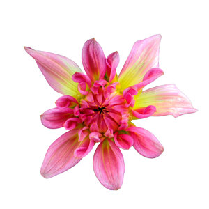 Star shaped dahlia