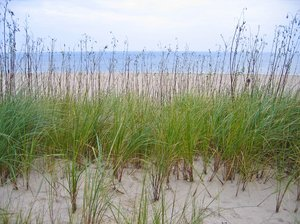 dune grass at the coast
