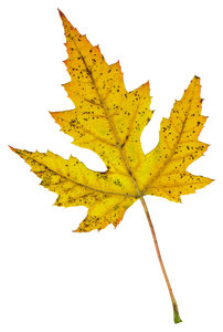 Leaf 3: An isolated fall leaf.