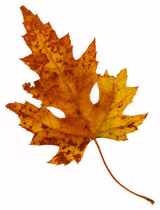 Leaf 16: An isolated fall leaf.