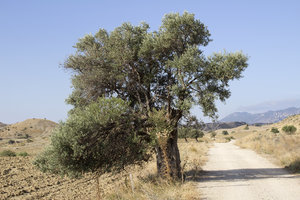 Cyprus olive trees: Olive trees alongside a track in northern Cyprus.