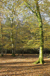 Beech trees in autumn: Beech (Fagus) trees in the New Forest, Hampshire, England, in autumn.