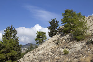 Dry coniferous landscape 2