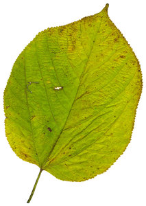 Large Leaf