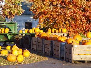 Pumpkins and Pumpkins: Pumpkins in crates on the farm in Ohio, under a sugar maple tree.