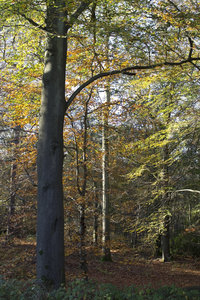 Forest in autumn: Beech (Fagus) forest in autumn.